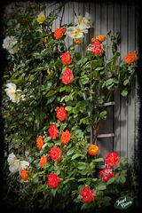 340/366: Wall of Roses