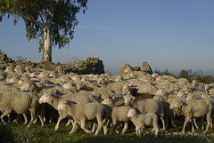 Penedos, Rebanho do Américo, Americo's flock, HFF