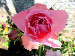 Light On A Rose