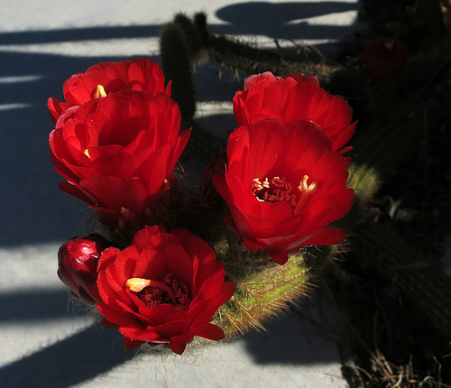 Red Cactus Flowers (1770)