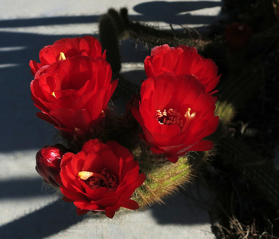 Red Cactus Flowers (1770)
