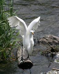 47/50 grande aigrette-great egret