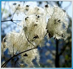 Clematis im Frühling... ©UdoSm
