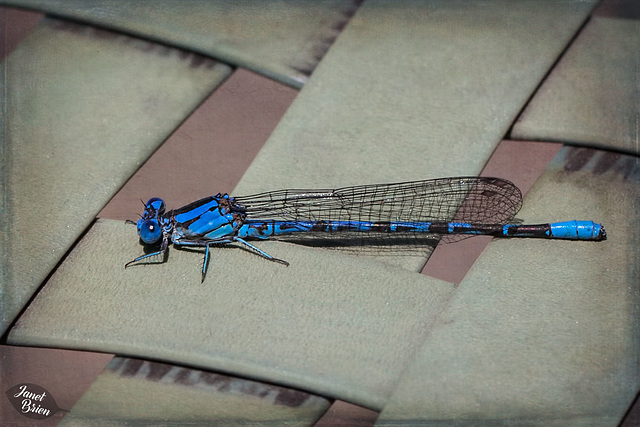 298/366: Damselfly on Chair [+1 in a note]