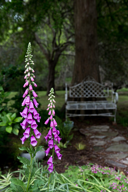 Foxglove and bench