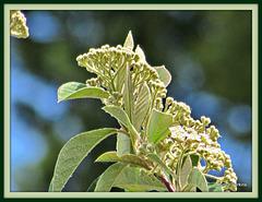 Kumarahou Blossoming