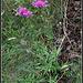 Centaurea scabiosa  (1)