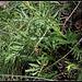 Centaurea scabiosa  (2)