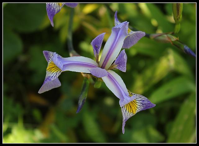 Iris x robusta (2)
