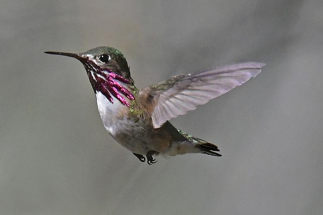 Calliope Hummingbird Sisters
