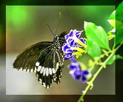 Kleiner Mormon (Papilio polytes).  ©UdoSm