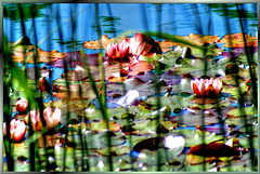 Pink Water Lilies... ©UdoSm