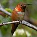 Rufous Hummingbird, Portland AWP 2399