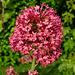 Centranthe rouge ou Lilas d'Espagne