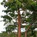 137/366 vintage tree
