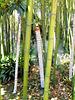 Bambusstämme. ©UdoSm