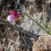 Lathyrus clymenum, Fabaceae