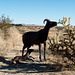 Borrego Springs, CA bighorn sheep sculptures (# 0631 )