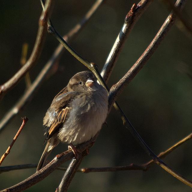 Cute house sparrow