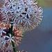 Night-Blooming Dracaena