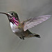 Calliope Hummingbird, Sisters