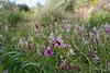 Lathyrus clymenum, Fumaria agraria
