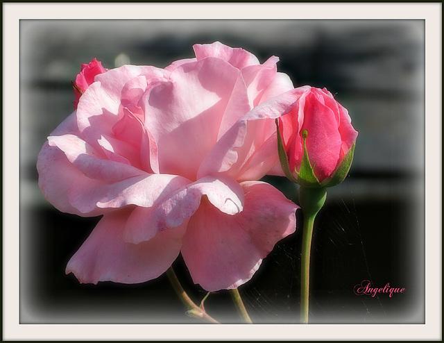 """""""Va revoir les roses. Tu comprendras que la tienne est unique au monde."""""""