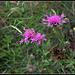Centaurea scabiosa  (6)