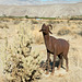 Borrego Springs, CA bighorn sheep sculptures (# 0634 )