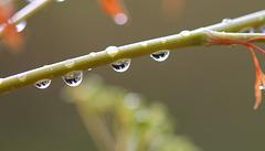 La pleu ... perles de pluie sur persil
