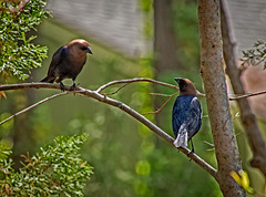 4187930dcM · Brown-headed cowbirds