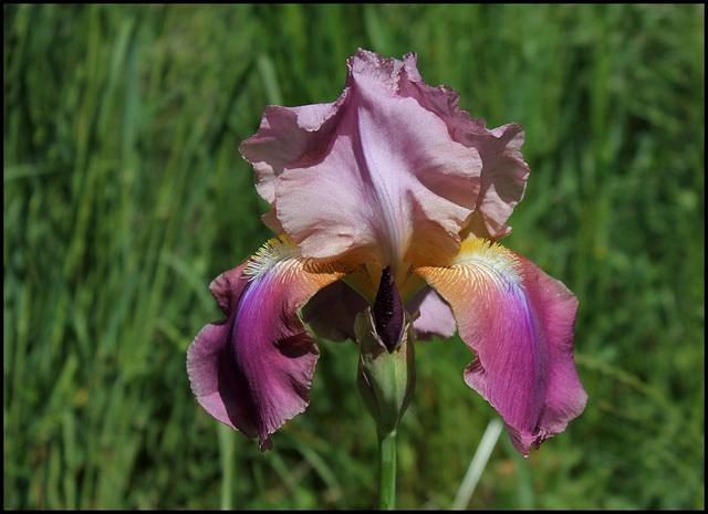 Giant Rose (2)