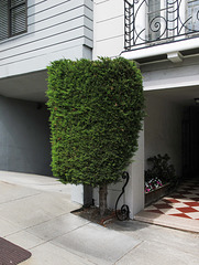 Ornamental evergreen, chopped to a desirable shape.