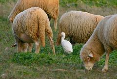 Bubulcus ibis, Garça-vaqueira, Garça-boieira , Carraçeiro, Pataluga