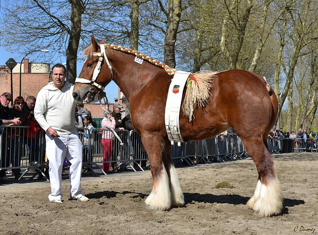 Concours de cheval de trait Brabançon