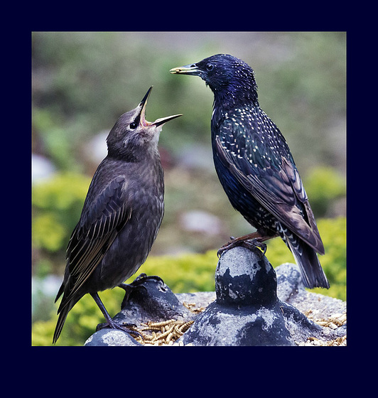 Starving starling