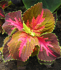 Coleus at the Brooklyn Botanic Garden by My Lovely Wife (Explored)