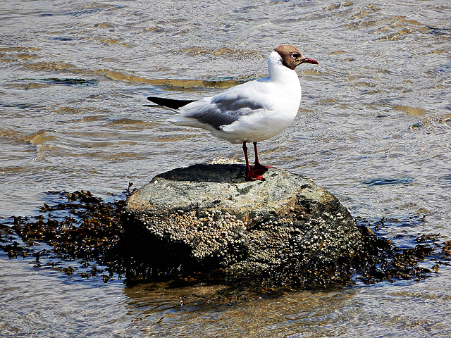 Mouette rieuse Chroicocephalus ridibundus - Black-headed Gull