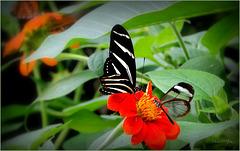 Zebra Longwing ~ Zebravlinder (Heliconius charitonius) and Glasswinged butterfly ~ Glasvleugelvlinder (Greta oto)...