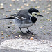Pied wagtail (3)