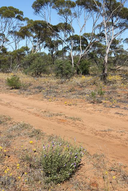 Alyogyne sp. Great Victoria Desert (D.J.Edinger 6212), PJL 2844