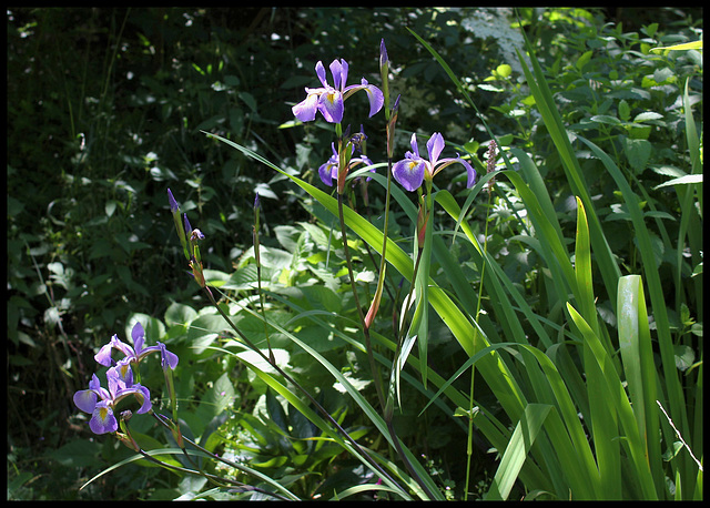 Iris x robusta
