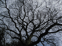 Fractal sycamore 1