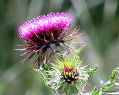Flowering Thistle.