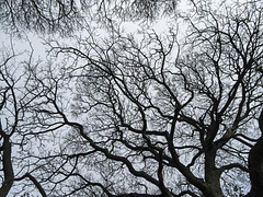 Fractal sycamore 2