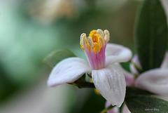 Fleur de citronnier caviar ; Microcitrus australasica