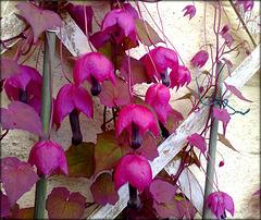 HFF!!! Rhodochiton in my mother's garden