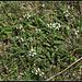 Prunella laciniata (1)