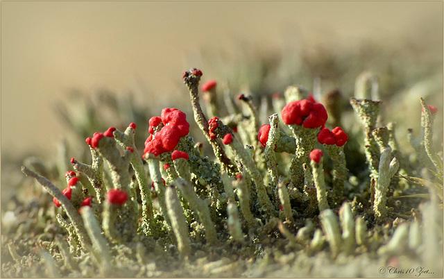 Op de rand van de Lente...Rode heidelucifer (Cladonia floerkeana)...