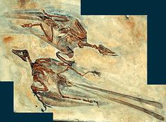 bird fossil Confusciusorni dui DSC 4353